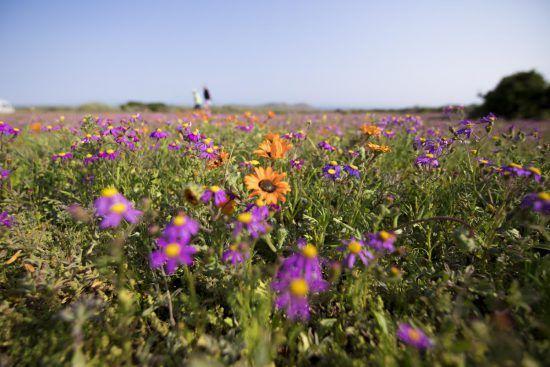 Lila und orangene Blüten an der südafrikanischen Westküste
