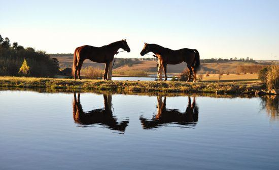 Horses and their reflections in a dam/lake in KwaZulu Natal, South Africa