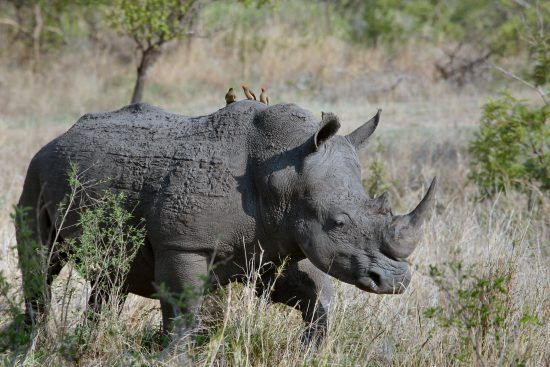 Rhino walking through bush with Oxpecker birds
