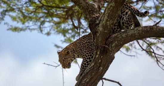 Leopard climbing down a tree in the Ngorongoro are in Tanzania