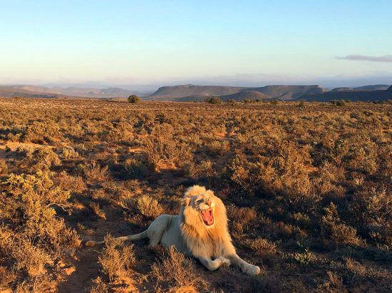 Ein männlicher Löwe mit Mähne gähnt in einer weiten Savannenlandschaft