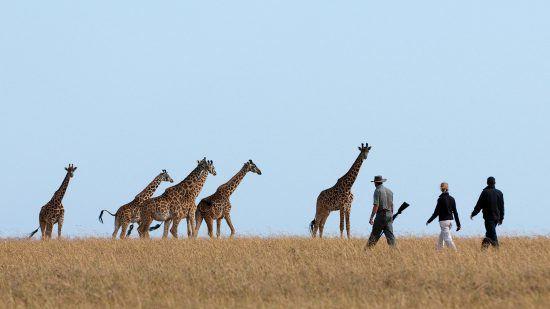 Drei Personen wandern durch die Savanne mit Giraffen im Hintergrund