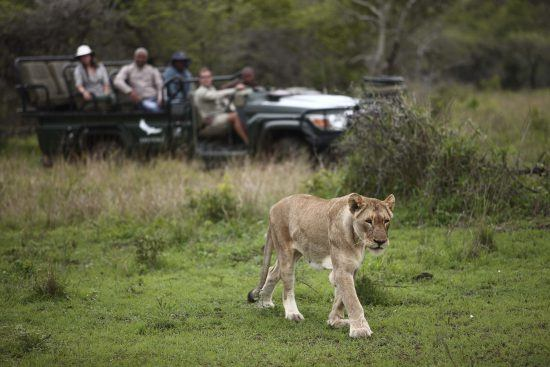 Lion spotting in Phinda Game Reserve, South Africa