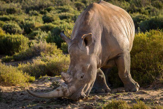 Nashorn in der Steppe bestäubt sein Horn
