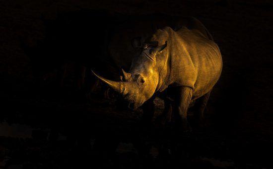 Nashorn in der Dunkelheit