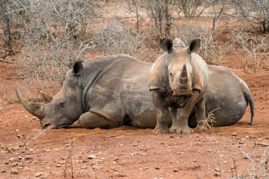 Nashornbaby beschützt schlafende Mutter