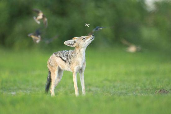 Fox looking at birds