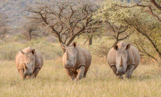 Drei Breitmaulnashörner in Northern Cape