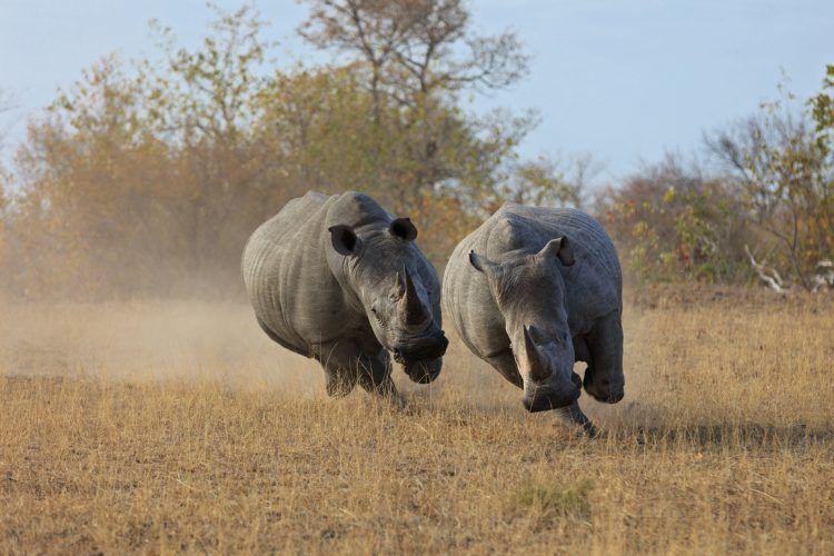 Zwei Breitmaulnashörner jagen sich gegenseitig