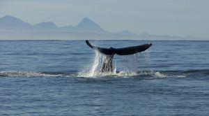 La aleta de una ballena saliendo del agua