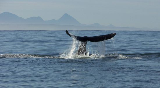 Wal zeigt seine Fluke vor der südafrikanischen Küste