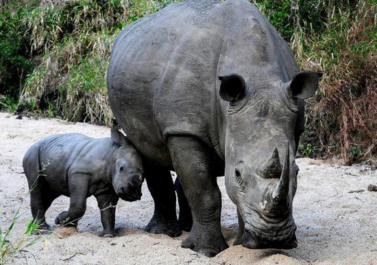 Breitmaulnashorn oder weißes Nashorn mit Nachwuchs