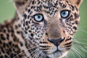 Leopardo olha fixamente para a câmera