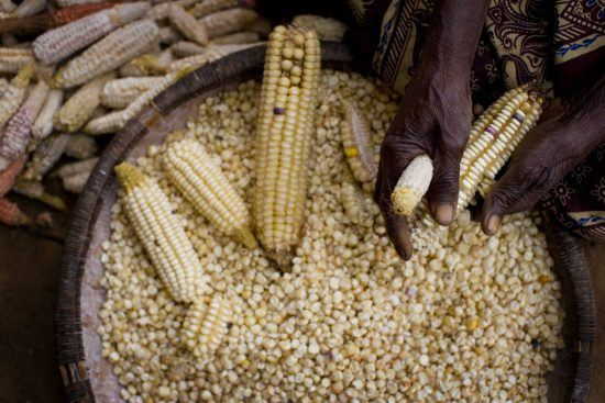 Maize or corn used to make staple food in Zimbabwe