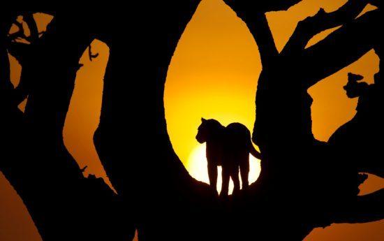 Umrisse Leopard in Baum bei Dämmerung