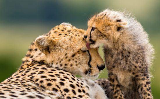 Gepardenmutter mit Jungem