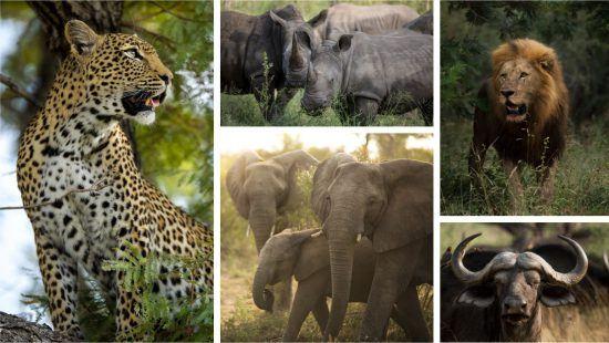 """Eine Fotocollage der """"Big Five"""": Löwe, Nashorn, Leopard, Büffel und Elefant"""