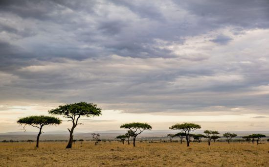 Acacia trees in the savannah grasslands of the Mara Triangle, Kenya