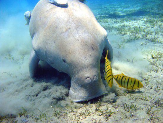 Dugong/sea cow eating sea grass
