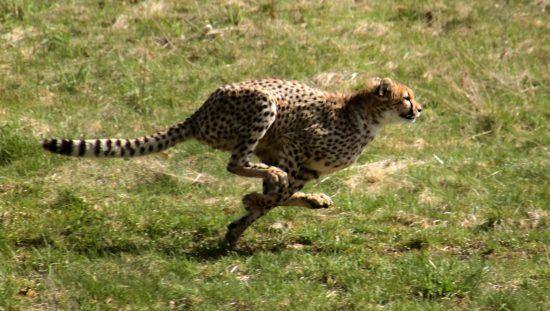 A cheetah sprinting after its prey