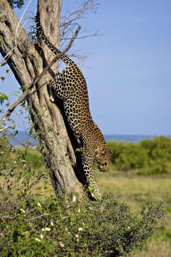 Leopard klettert den Baum herunter