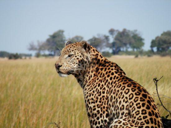 Leopard von hinten in der Savanne