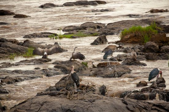 Maribou storks and vultures eating wildebeest on the Mara River in Kenya
