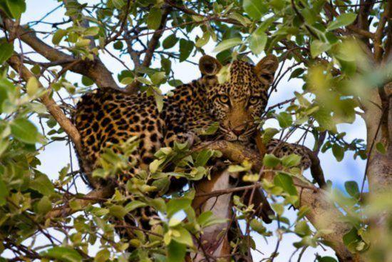 Leopard lauert auf Baum