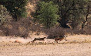 Un guépard poursuit une antilope dans la savane. Plan large.