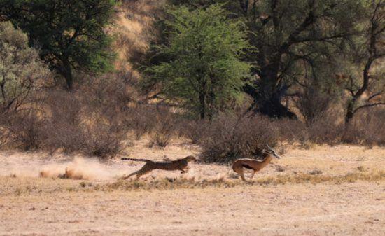 Gepard im Sprint mit Antilope