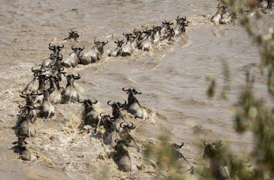 A Mara River Crossing in the Serengeti during the Great Wildebeest Migration