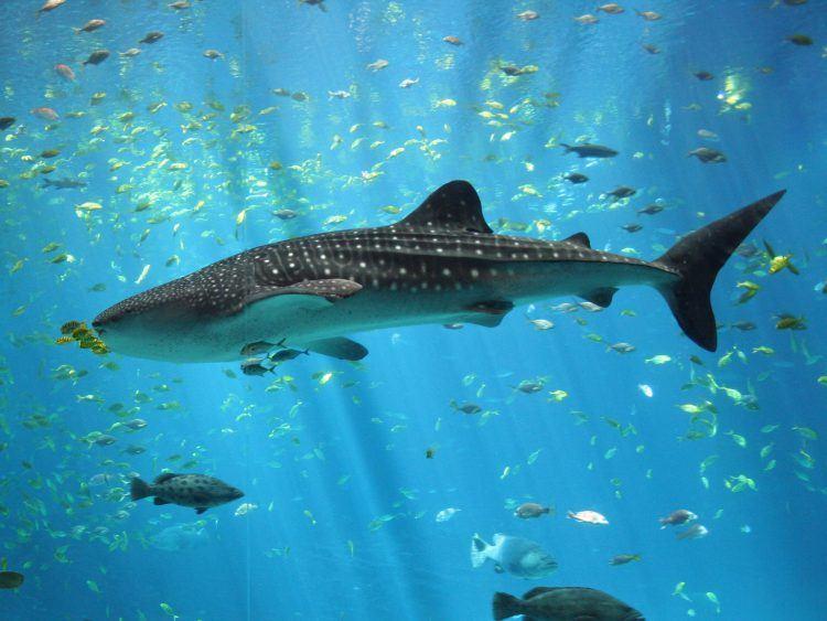Tiburón ballena macho