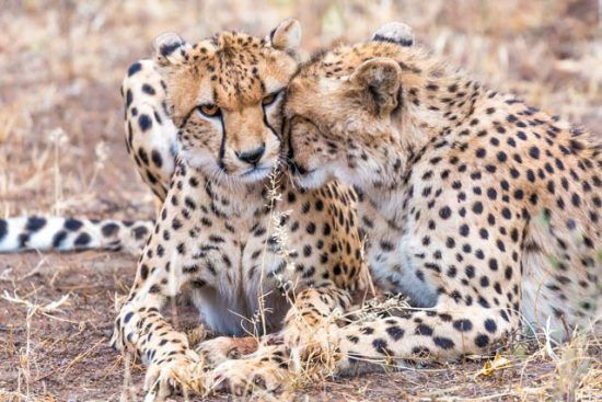 Endangered cheetah in Africa