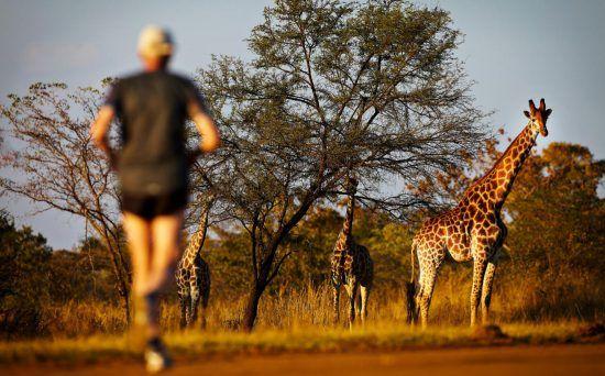 Girafas e corredor durante a Big 5 Marathon