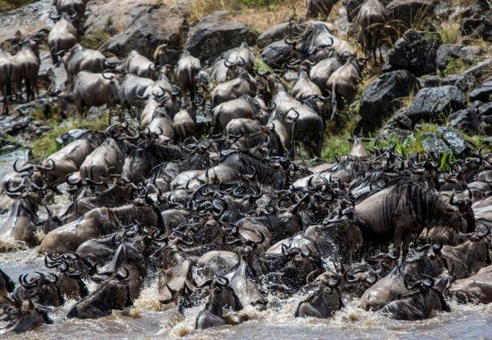 Wildebeest stampede seen on a Great Migration Safari as they endure Mara River crossing
