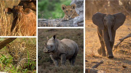 """Eine Fotocollage der Baby """"Big Five"""": Löwe, Nashorn, Leopard, Büffel und Elefant"""