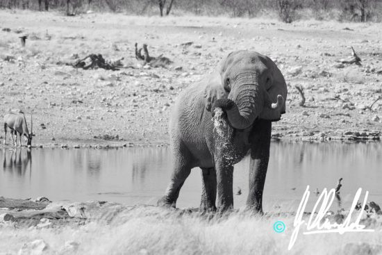 Elephant drinking at a waterhole in Namibia