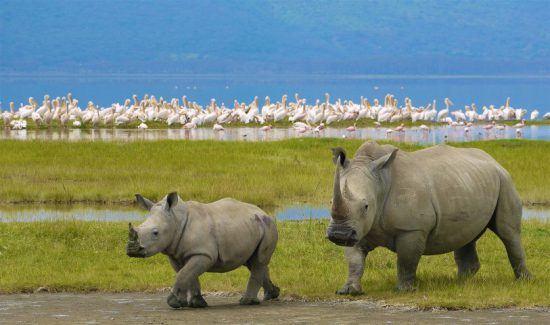 Breitmaulnashorn mit Jungtier im grünen Gras vor einem See, in dem sich Flamingos tummeln