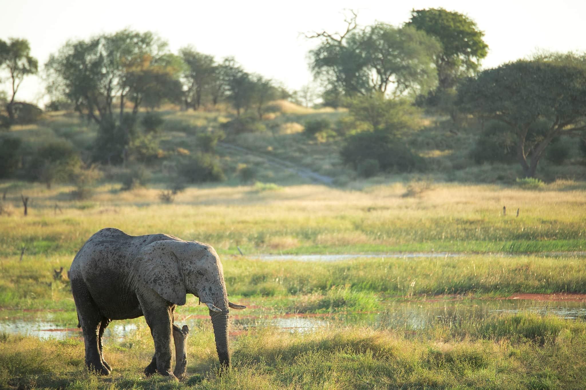 botswana moremi okovango delta elephant trees grass water