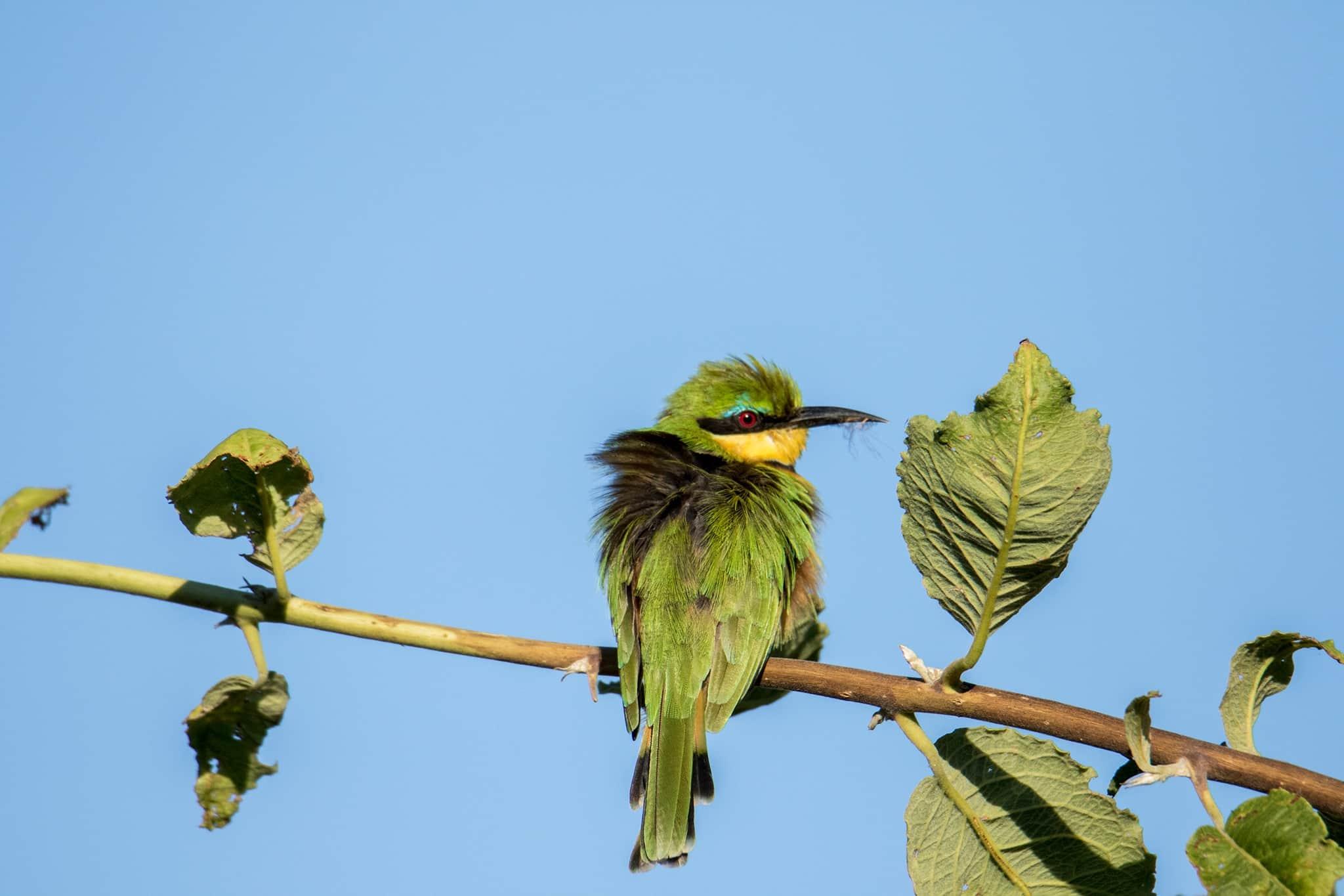 botswana moremi okovango delta green bee eater leaves