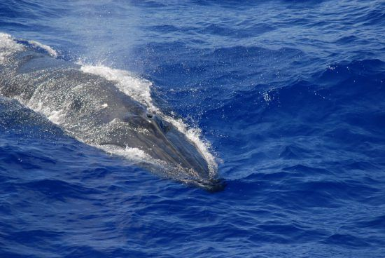 Brydes whale breathing hole