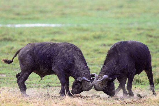 Zwei Büffel beim Käpfen auf einer grünen Wiese