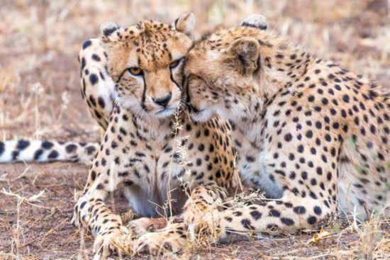 Kuschelnde Leoparden in der Savanne