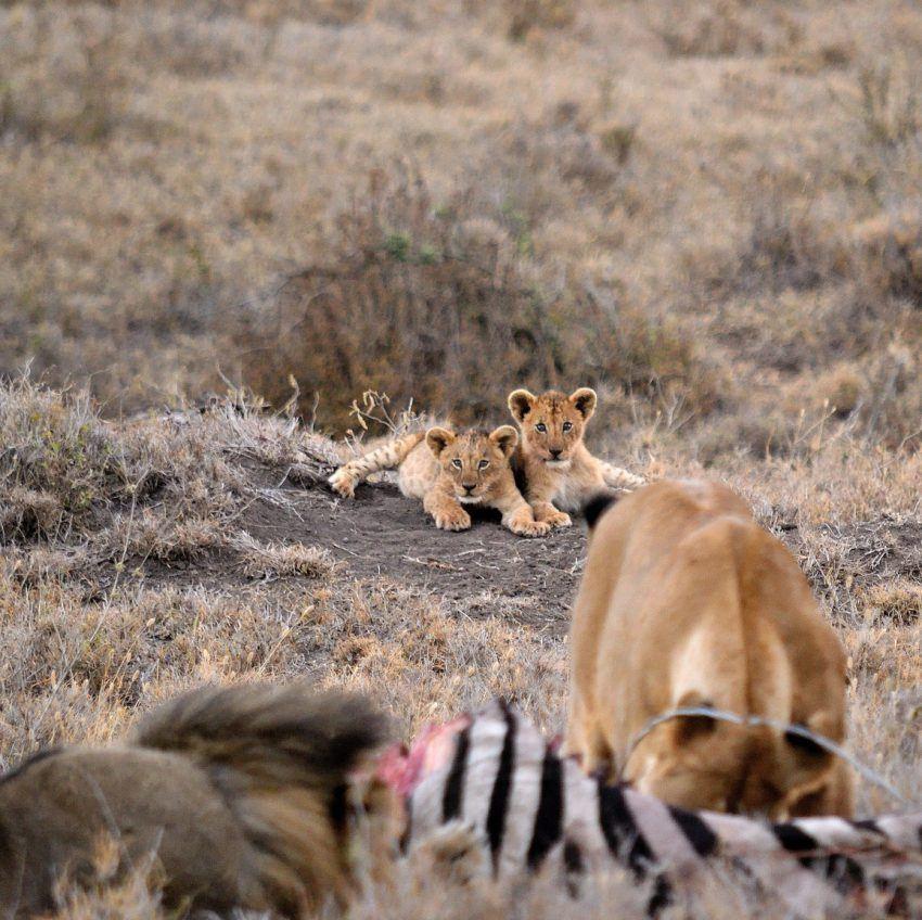 Löwenmutter mit Beute, Junge im Hintergrund