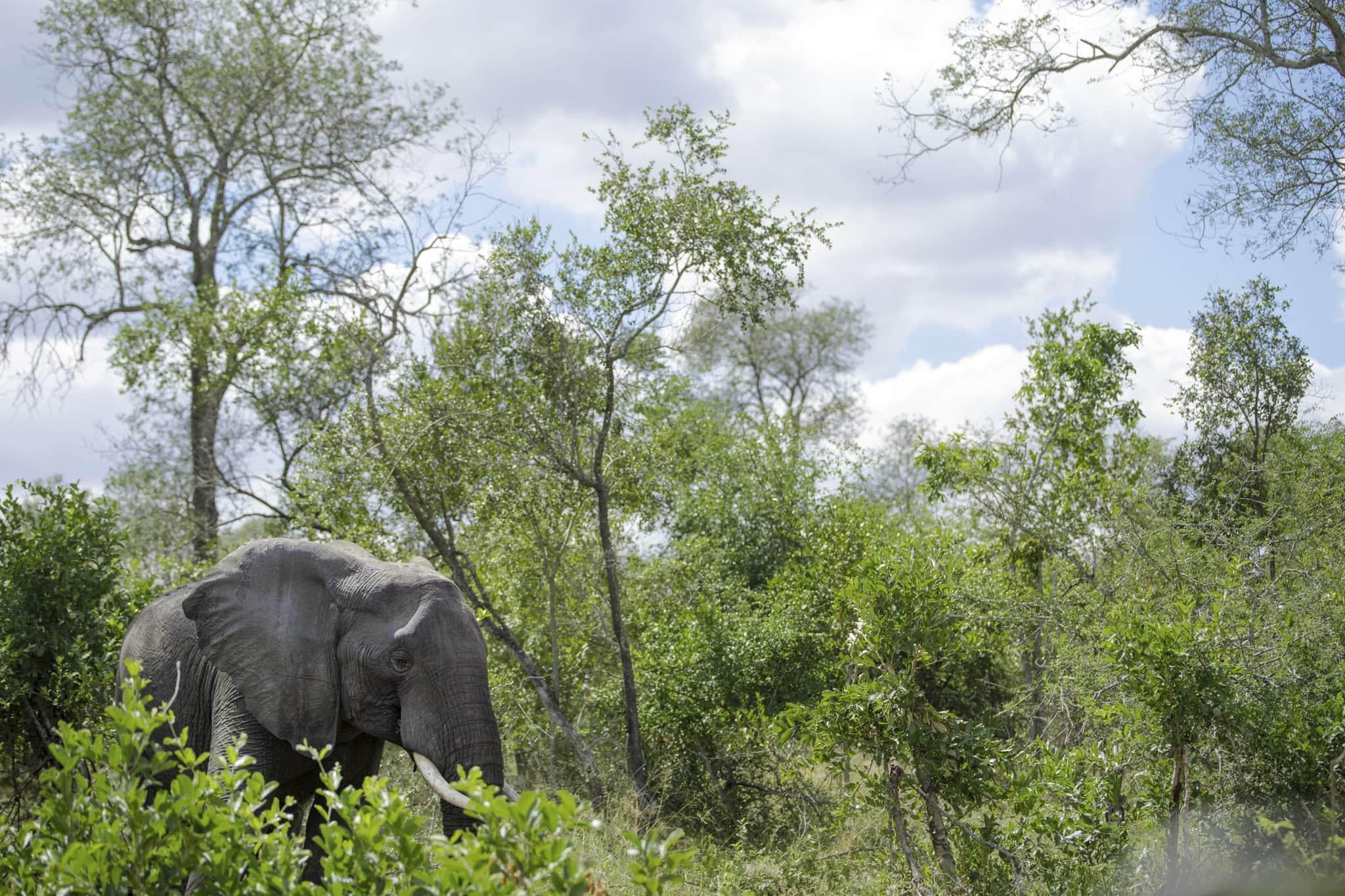 elephant grazing botswana
