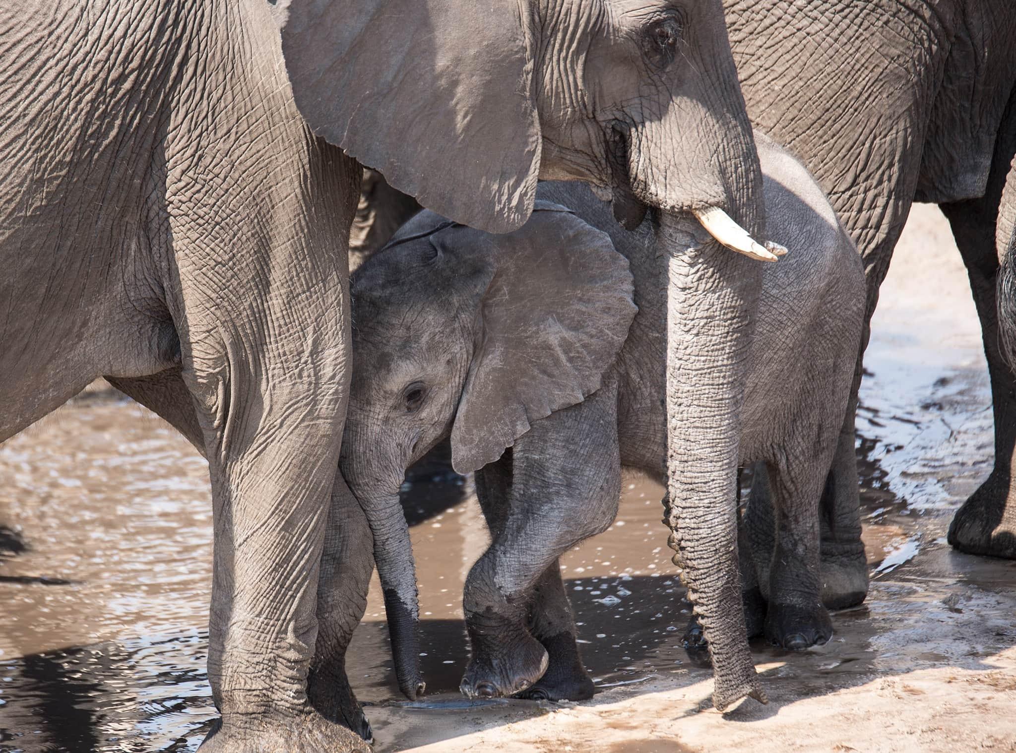 elephant hiding kings pool okavango delta botswana