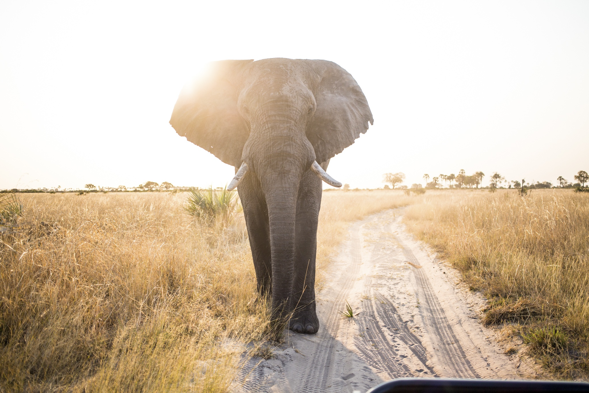 elephant walking botswana