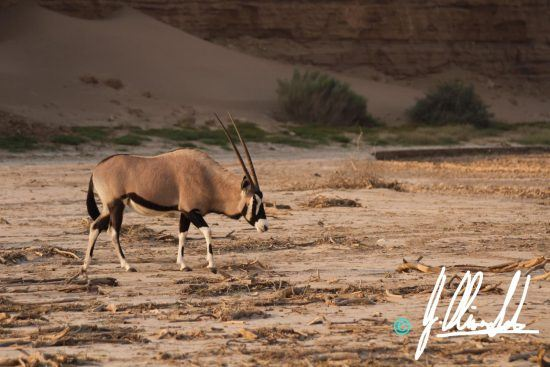 Gemsbok in the Kalahari of Namibia