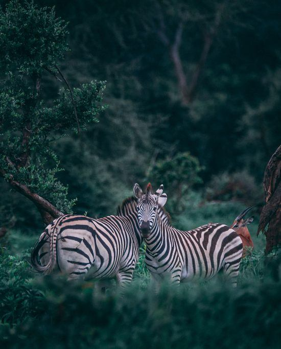 Zebra in a forest