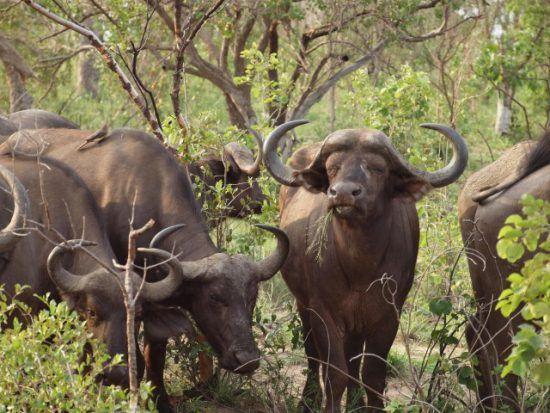 Los búfalos necesitan grandes cantidades de alimento para mantener sus fuerzas